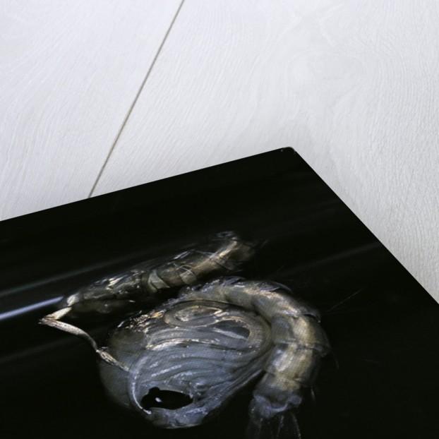 Culex pipiens (common house mosquito) - pupa by Corbis