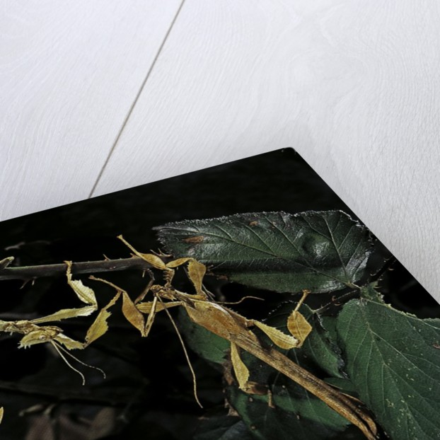 Extatosoma tiaratum (giant prickly stick insect) - male with female by Corbis