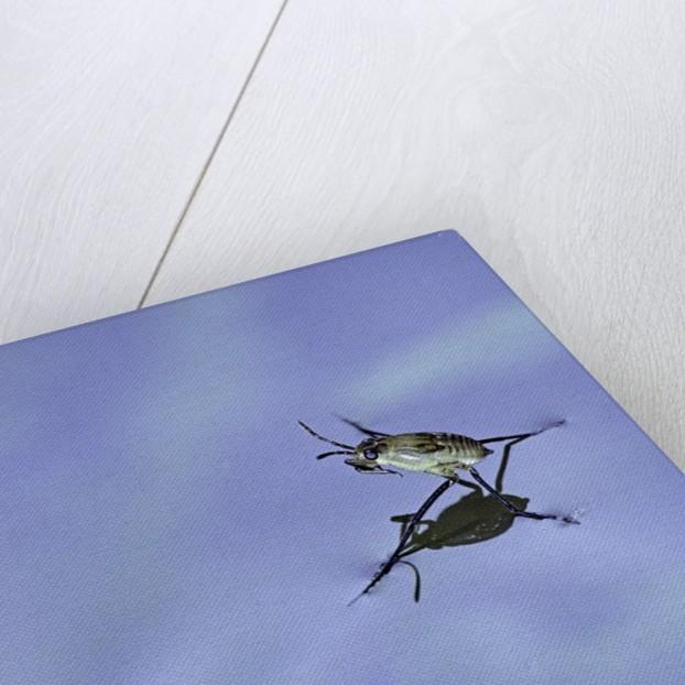 Gerris lacustris (common pond skater) - young larvae by Corbis