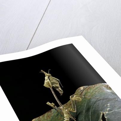 Gongylus gongylodes (wandering violin mantis) by Corbis