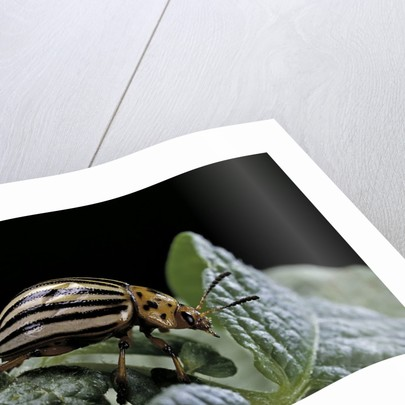 Leptinotarsa decemlineata (Colorado potato beetle) by Corbis