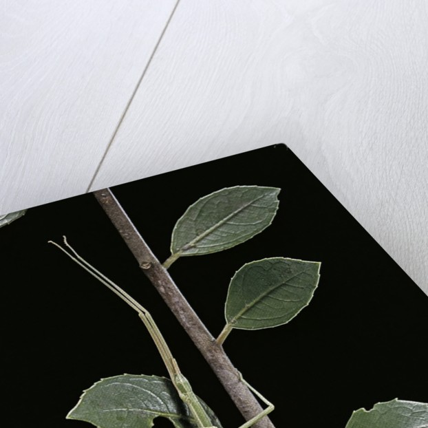 Leptynia hispanica (spanish stick insect) by Corbis