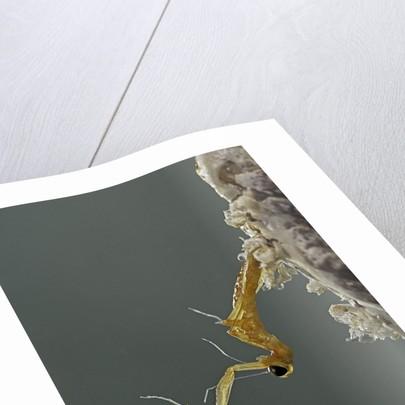 Mantis religiosa (praying mantis) - hatching by Corbis