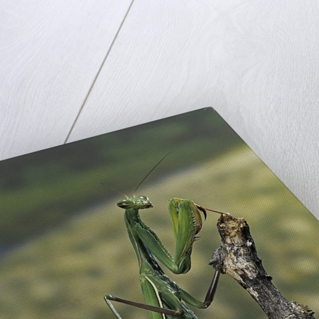 Mantis religiosa (praying mantis) - female ready to lay by Corbis