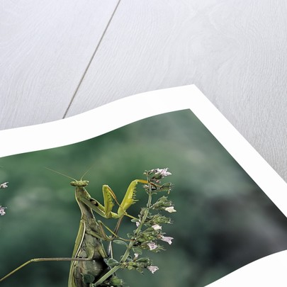Mantis religiosa (praying mantis) by Corbis