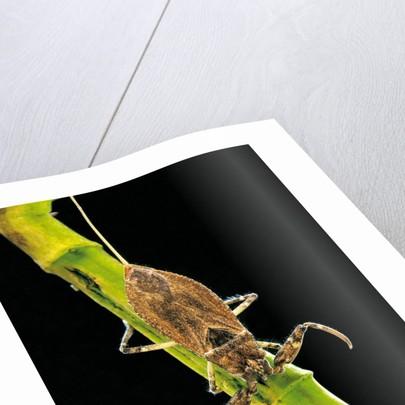 Nepa cinerea (water scorpion) by Corbis