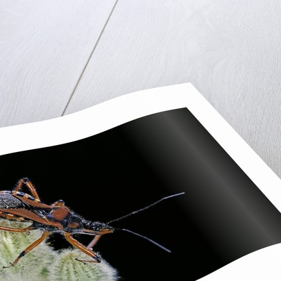 Rhynocoris iracundus (thread-legged bug, assassin bug) by Corbis
