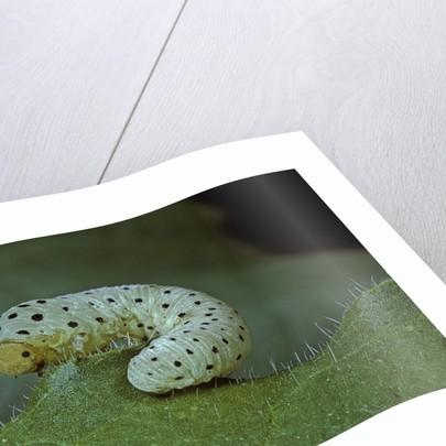 Tenthredo neobesa (common sawfly, tenthredinid sawfly) - larva by Corbis