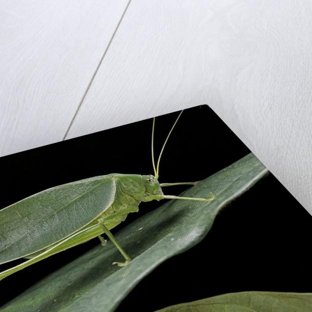 Katydid or bush-cricket or long-horned grasshopper by Corbis