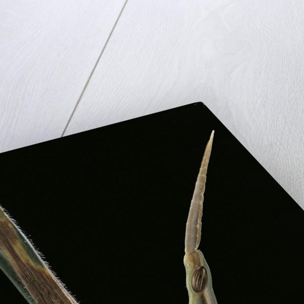 Xenotruxalis fenestrata (short-horned grasshopper) - portrait by Corbis