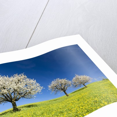 Blooming cherry trees on a meadow by Corbis