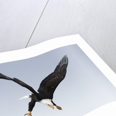 Bald Eagle dives with talons out by Corbis