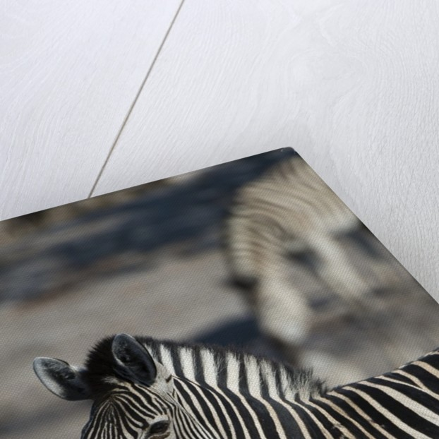 Zebra by Corbis