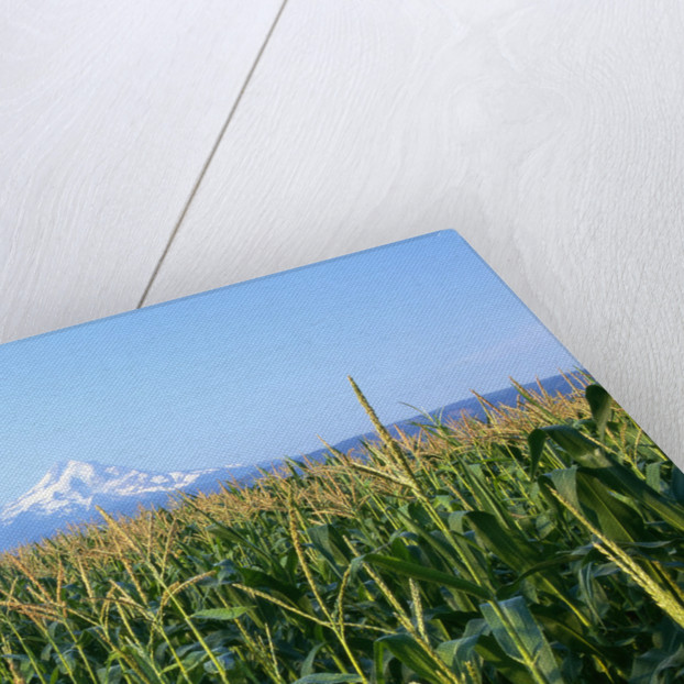 Corn Growing Near Mt. Hood by Corbis