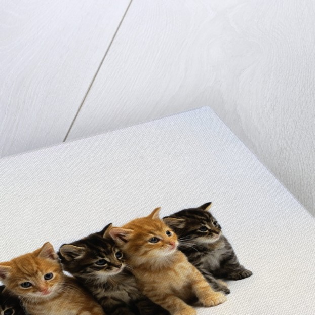 Five Tabby Kittens by Corbis