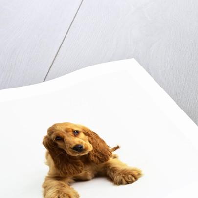 Cocker Spaniel Puppy by Corbis
