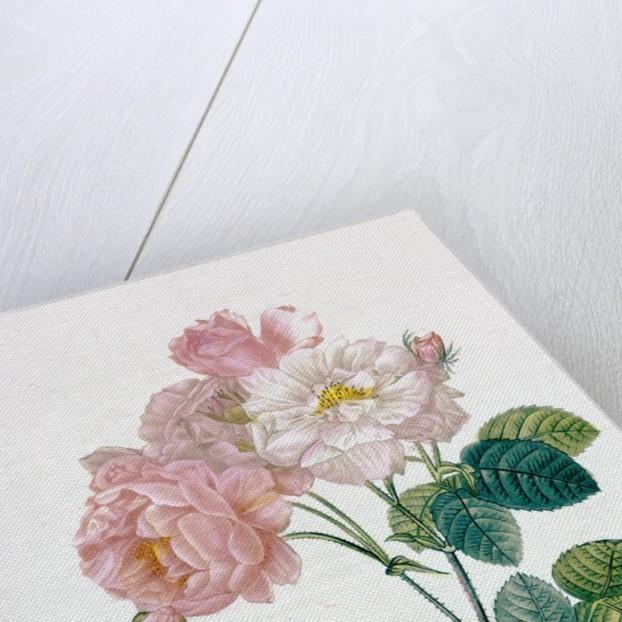 Rosa Demascena by Pierre Joseph Redoute