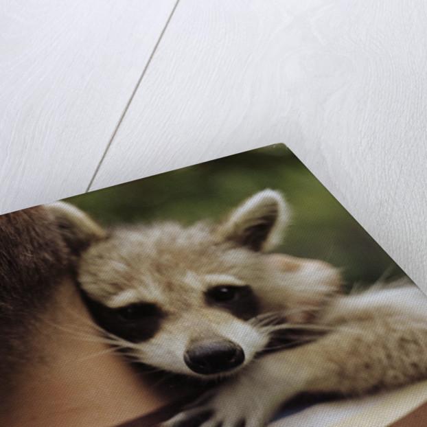 Boy Holding a Raccoon by Corbis