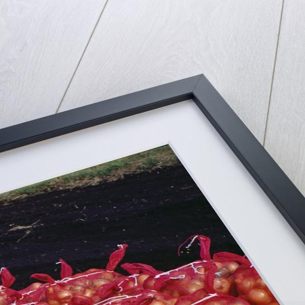 Onion Sacks on Field by Corbis