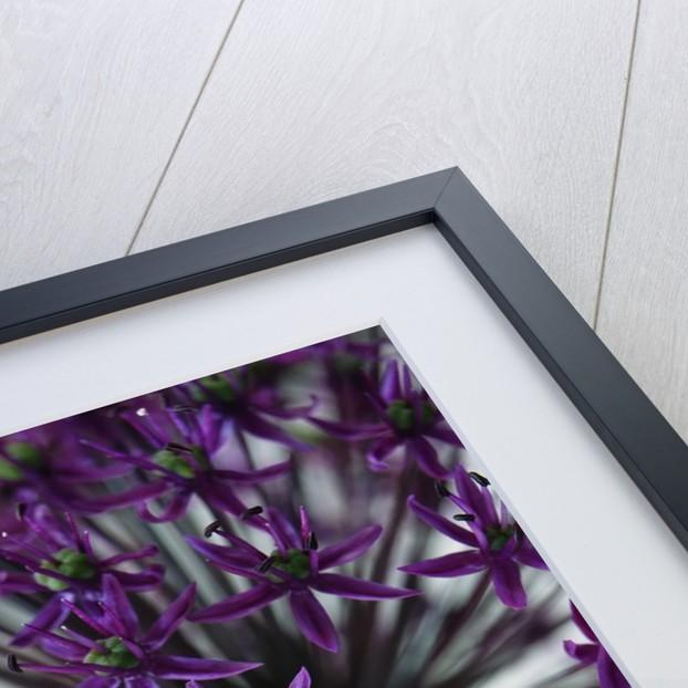 Allium by Corbis