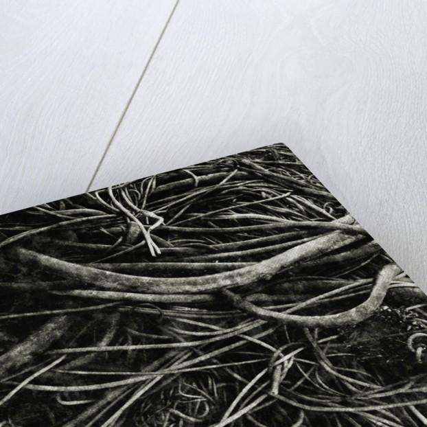 Kelp by David Roseburg