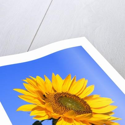 Giant Sunflower by Corbis