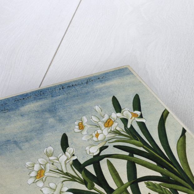 Early 19th-Century Chinese Watercolor of Daffodils by Corbis