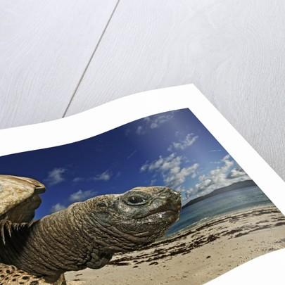 Giant Tortoise on the Beach by Corbis