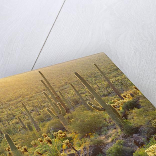 Desert Plants in Sonoran Desert by Corbis