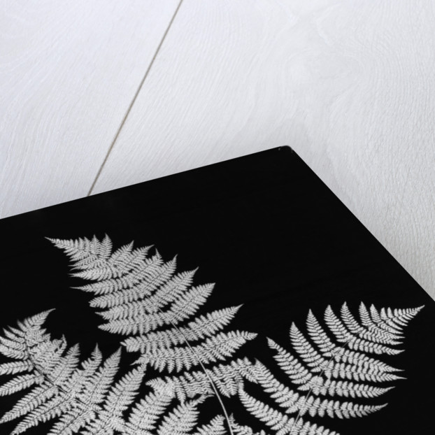 Photographic Study Of Fern Leaves by Corbis