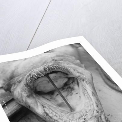 Head of Shark Lying Upside Down on Dock by Corbis