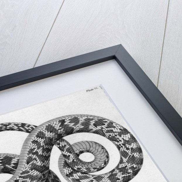 Engraved Illustration Of 2 Snakes by Corbis