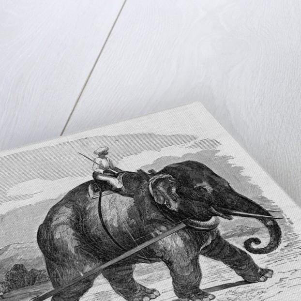 Elephant Pulling Plow by Corbis
