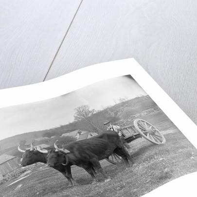 Farmer on Ox Cart by Corbis