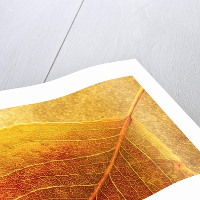 Autumn Leaf by Corbis