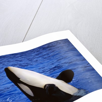 Killer Whale Breaching by Corbis