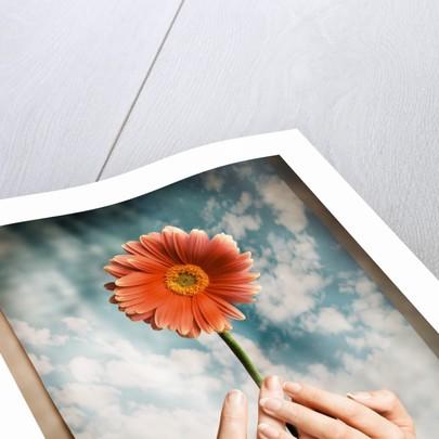 Hands Holding a Gerbera Daisy by Corbis