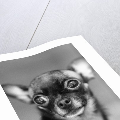 Chihuahua's Face by Corbis