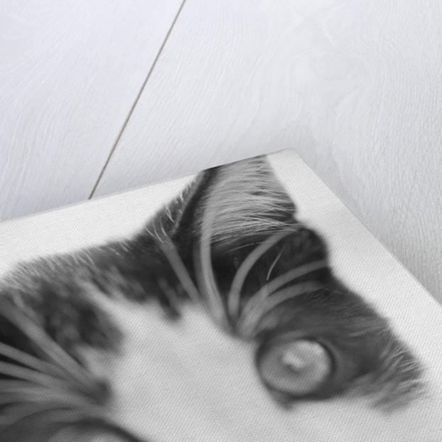 Cat's Head by Corbis