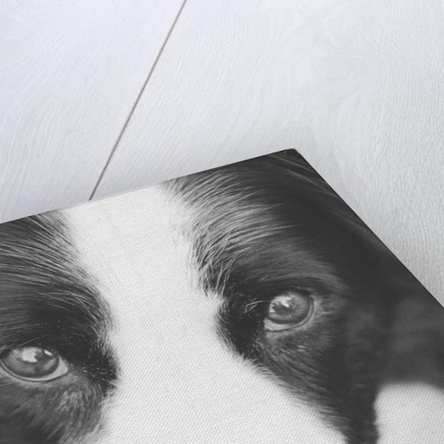 Head of Border Collie by Corbis