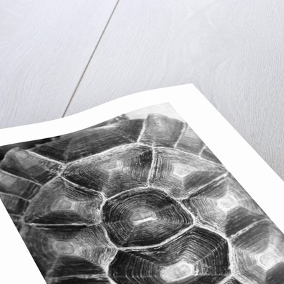 Pattern on Turtle's Shell by Corbis
