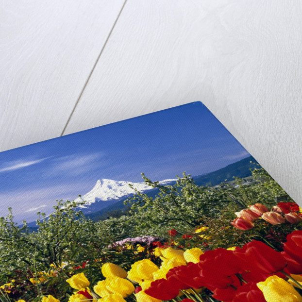 Blooming Tulips and Mount Hood by Corbis