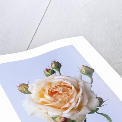Cressida Rose by Corbis