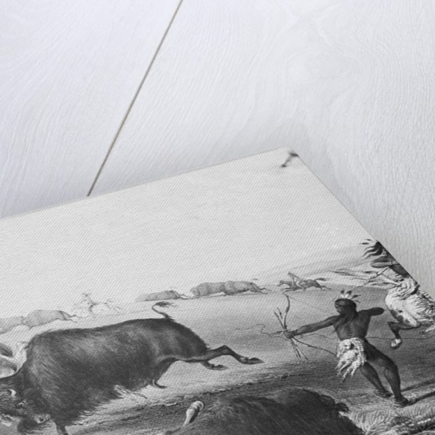 Buffalo Fighting with Indians by Corbis