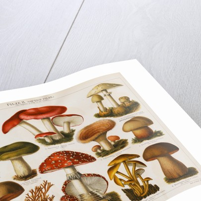Different Types of Poisonous Mushrooms by Corbis