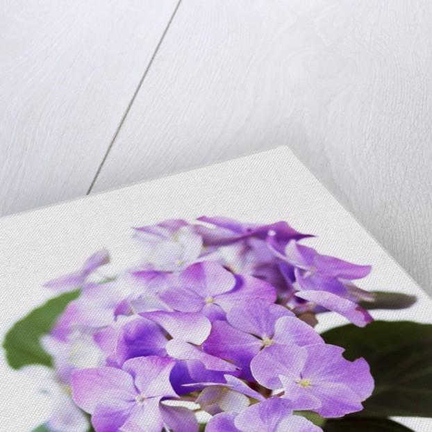 Cluster of Purple Hydrangea Flowers by Corbis