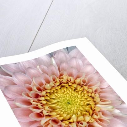 Pink Chrysanthemum Flower by Corbis