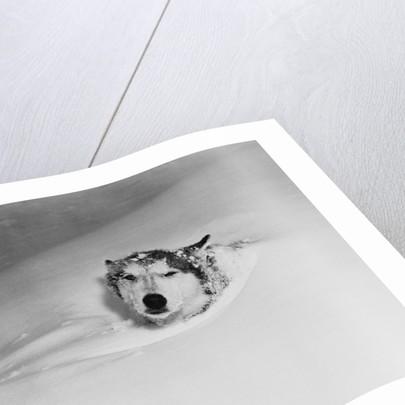 Husky Sleeping in Snowdrift by Corbis
