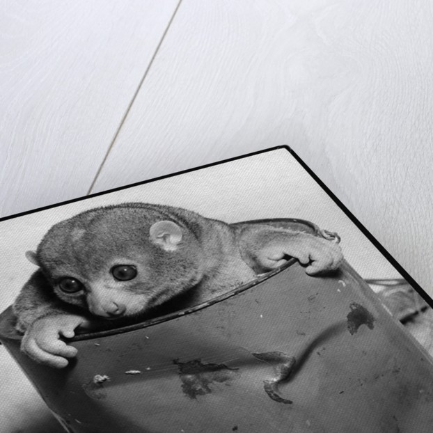 Bosman's Potto in a Paint Can by Corbis
