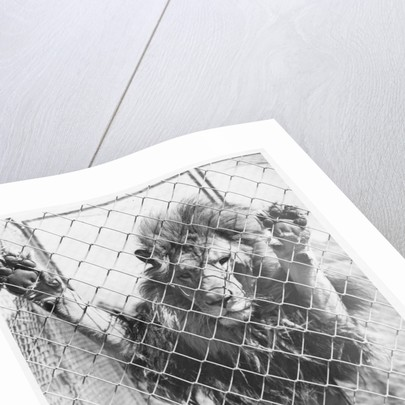 Caged Lion by Corbis
